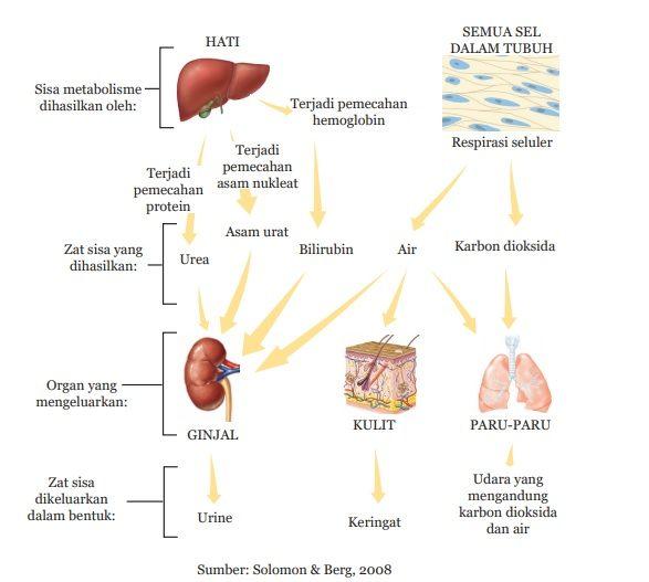 gambar sistem ekskresi