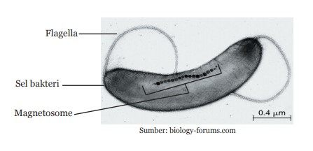 Magnetotactic bacteria bakteri MTB