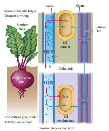 pengangkutan nutrisi pada tumbuhan