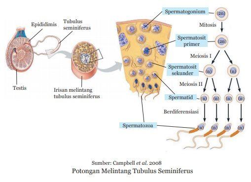 Proses pembentukan sperma