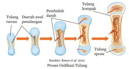 proses osifikasi tulang