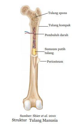 struktur tulang manusia