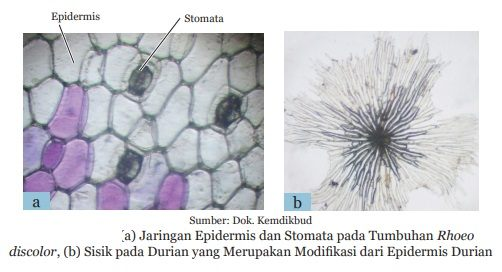 jaringan epidermis dan sisik pada durian
