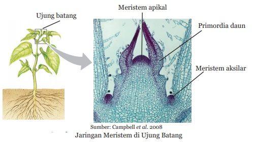 jaringan meristem di ujung batang