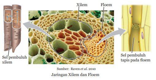 jaringan xilem dan floem
