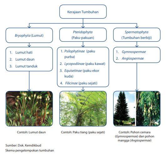 klasifikasi pengelompokan kingdom plantae tumbuhan