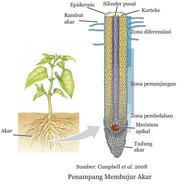 penampang membujur akar