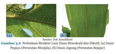 perbedaan struktur daun monokotol dan dikotil