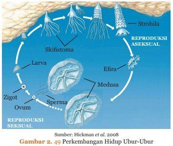 perkembangan hidup ubur-ubur