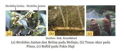 perkembangbiakan tumbuhan Gymnospermae