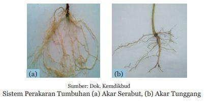 sistem akar tumbuhan serabut dan tunggang