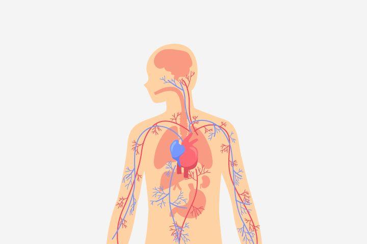 sistem-peredaran-darah-manusia