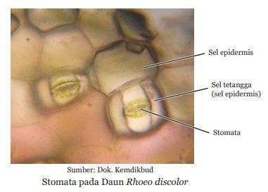 stomata pada daun tempat terjadinya fotosintesis